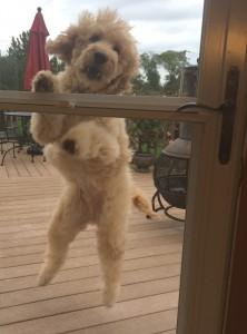 Bad behavior in dogs