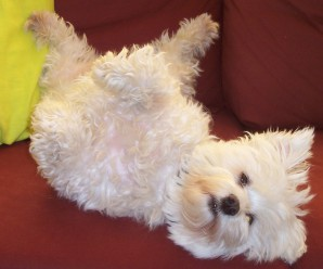 Why Do Dogs Like Their Bellies Rubbed?