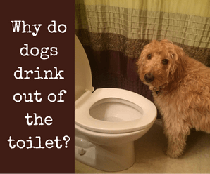 Why Do Dogs Drink Out of the Toilet-Top 5 Reasons NOT to