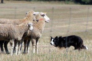 How to stop a herding dog from nipping