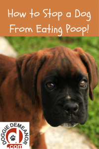 how-to-stop-a-dog-from-eating-poop
