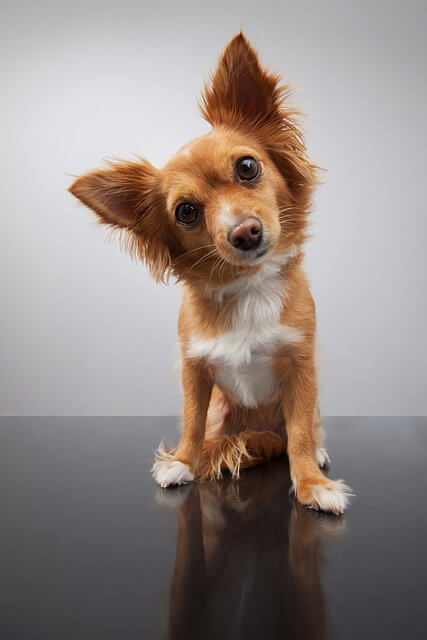 Why do dogs tilt their heads to the side when listening