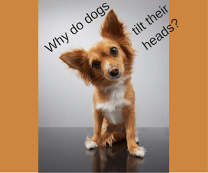 Why Do Dogs Tilt Their Heads To The Side When Listening?