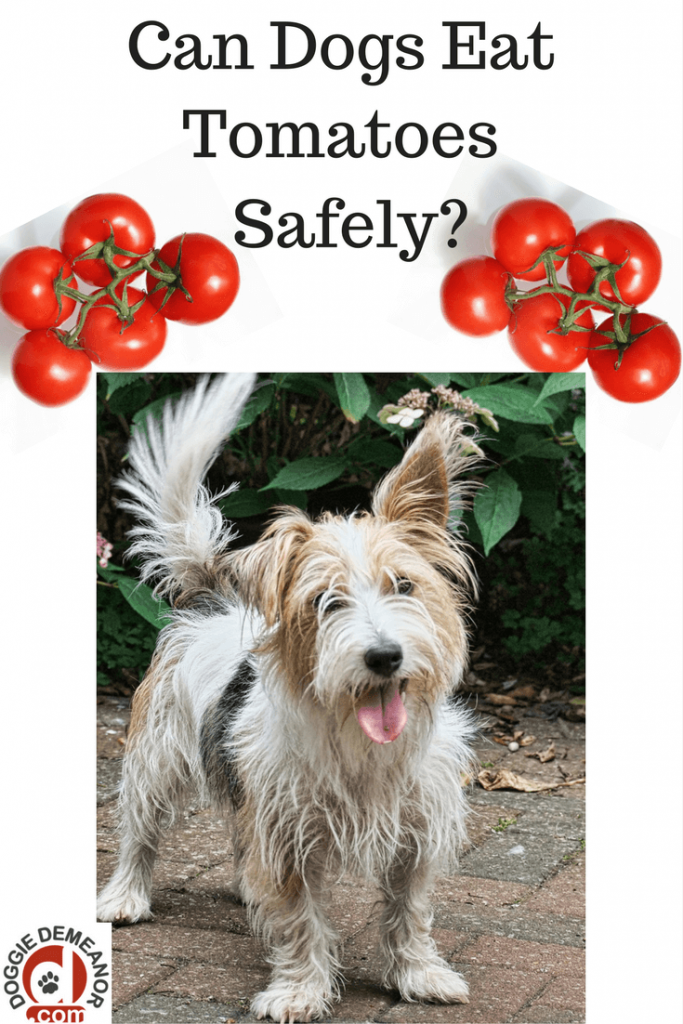 Can dogs eat tomatoes safely