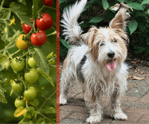 Can Dogs Eat Tomatoes Safely?