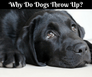 Why Do Dogs Throw Up?