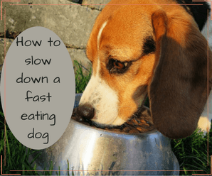 Dogs That Eat Too Fast And Throw Up